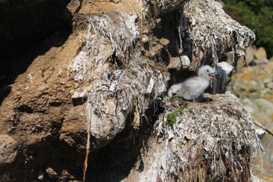 Kittiwake Chicks ~ Photo : Natalie Rance