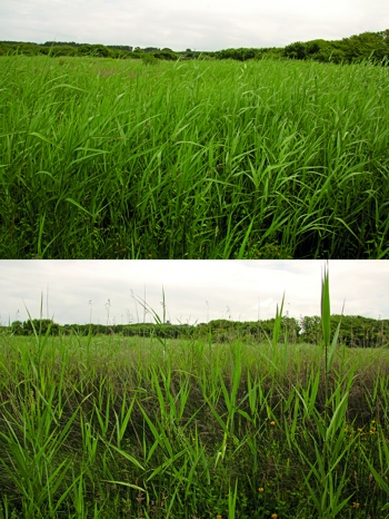 Managed (top) vs Unmanaged (bottom) reed bed at Lower Moors © BareFoot Photographer