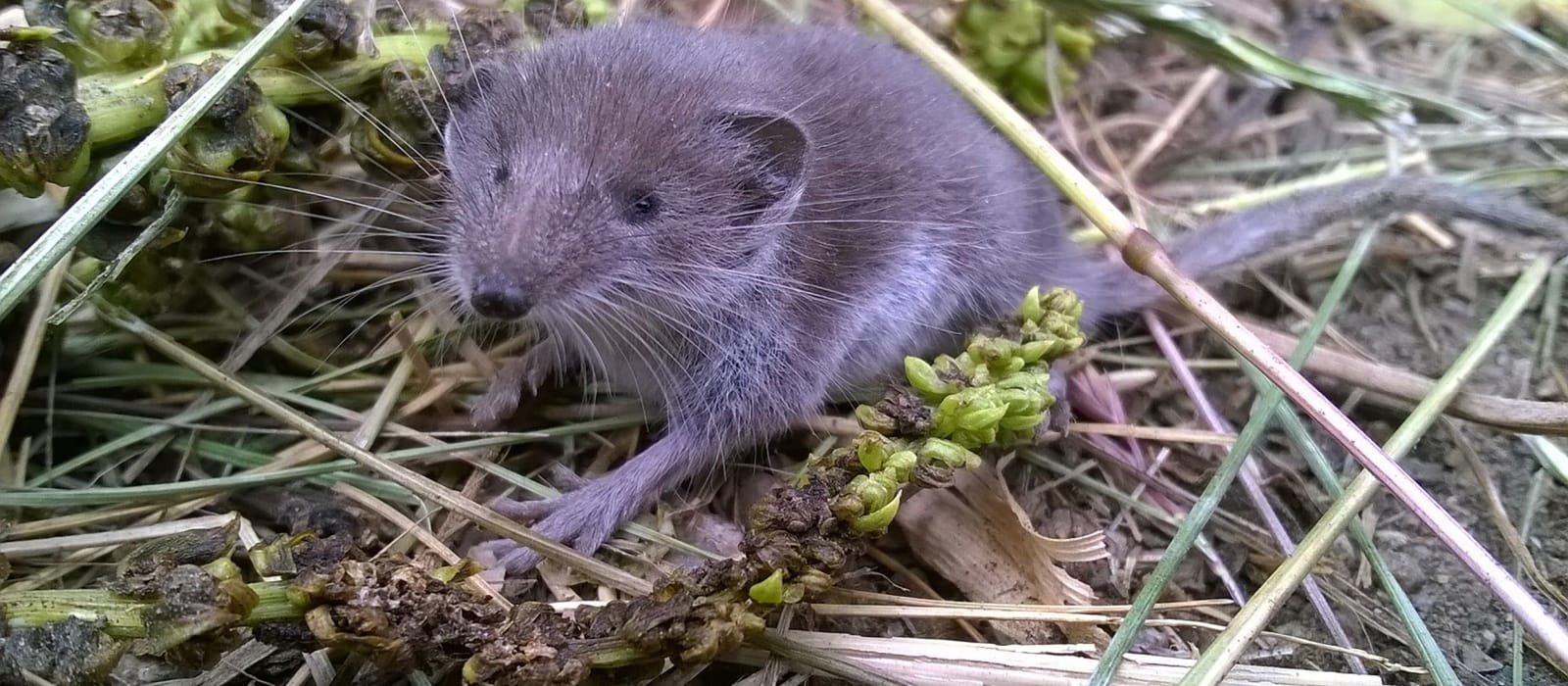 Lesser white-toothed shrew (Scilly Shrew)