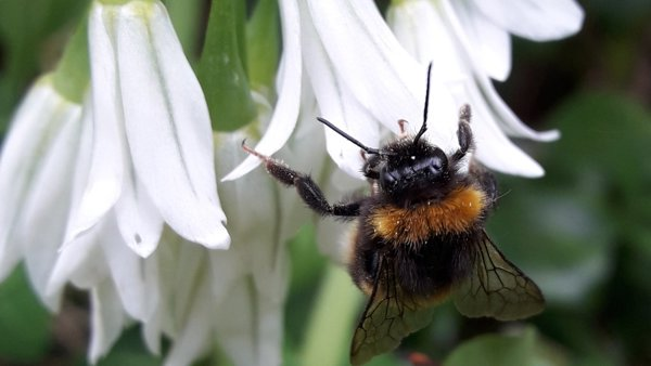 Buff-tailed bumble bee